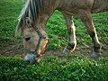 Horse grazing 10-09 006.jpg