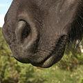Horse muzzle.jpg