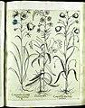 Hortus Eystettensis, Vorzeichnungen (MS 2370 2952649) -Aestiva,1,8.jpg