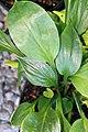 Hosta Blue Umbrellas 2zz.jpg