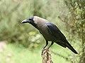 House Crow Sandynullah Ooty Aug21 D72 20420.jpg