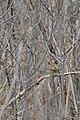 House Sparrow (Passer domesticus) - Cambridge, Ontario 2019-02-09 (01).jpg