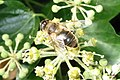 Hoverfly (RL) (8251247345).jpg