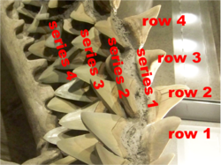 How to count shark teeth.png