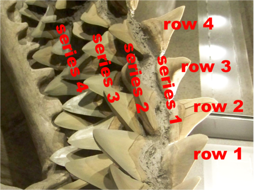 How to count shark teeth