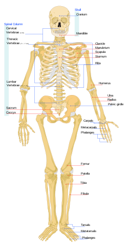Human skeleton front en.svg