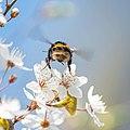 Hummel von hinten auf Blüte Frankfurter Grüngürtel.jpg