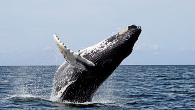 A Humpback Whale beaching off of Stellwagen Bank National Marine Sanctuary, between Cape Cod and Cape Ann
