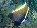 Humphead bannerfish (Heniochus varius) (47285642592).jpg