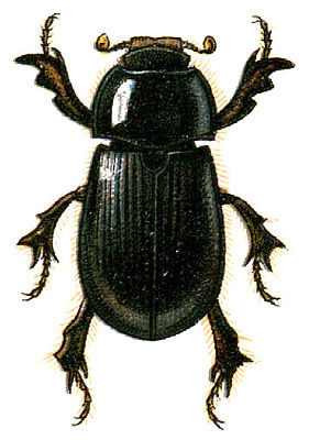 Illustration von Hybosorus illigeri