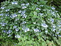 Hydrangea in Takahata Fudo2.jpg