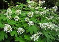 Hydrangea quercifolia4normanack.jpg