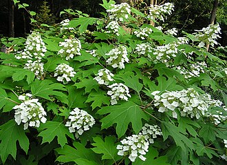 Hydrangea quercifolia - Hydrangea quercifolia form and foliage.