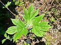 Hydrangea quericifolia1.jpg