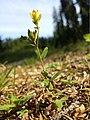 Hypericum humifusum sl12.jpg