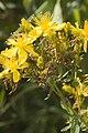 Hypericum perforatum vallee-de-grace-amiens 80 21072007 2.jpg