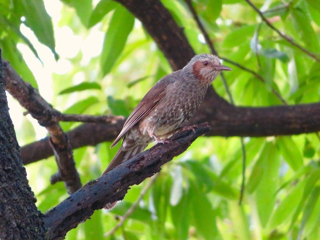 Hypsipetes amaurotis on tree (Ochiai Park) - 2