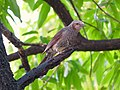 Hypsipetes amaurotis on tree (Ochiai Park) - 2.jpg