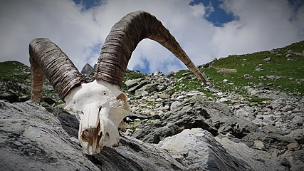 Ibex skull in Vanoise National Park, France (3).jpg
