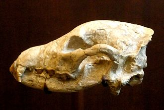 "Hyena - Skull of Ictitherium viverrinum, one of the ""dog-like"" hyenas. American Museum of Natural History"
