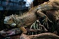 Iguana, Игуана.jpg