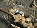 Iguana iguana, Zoo de Vincennes 04.JPG