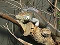 Iguana iguana, Zoo de Vincennes 05.JPG