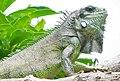 Iguana iguana (Iguana verde).jpg