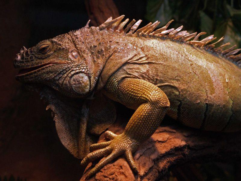 File:Iguana iguana 2 AB.jpg