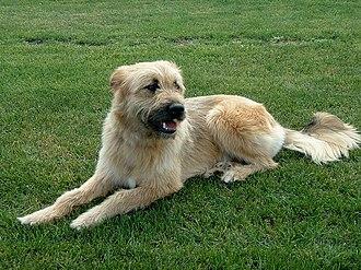 Basque Shepherd Dog - Image: Iletsua 1