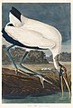 Illustration from Birds of America (1827) by John James Audubon, digitally enhanced by rawpixel-com 216.jpg