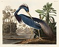 Illustration from Birds of America (1827) by John James Audubon, digitally enhanced by rawpixel-com 217.jpg