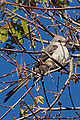 Immature Male Scissor-tailed Flycatcher (tyrannus forficatus) (8385014849).jpg