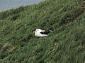 Immature Northern Royal Albatross.jpg