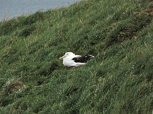 Northern royal albatross - Young northern royal albatross in the colony on Taiaroa Head, New Zealand