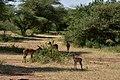 Impala, Lake Manyara National Park (28503945641).jpg