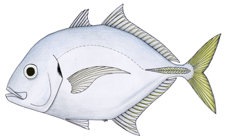 Imposter trevally species of fish
