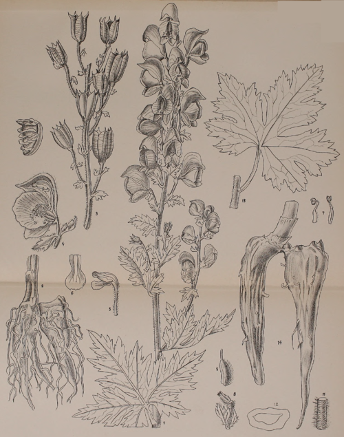 Indian Medicinal Plants - Plate 17 - Aconitum falconeri.png