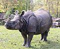 Indisches Panzernashorn Rhinoceros unicornis Tierpark Hellabrunn-9.jpg