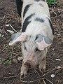 Inishmore pig (6031079470).jpg