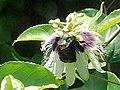 Insect on passiflora edulis flower.jpg