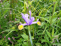 Iris-xiphium