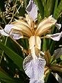 Iris foetidissima03.JPG