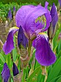 Iris germanica 0002.JPG