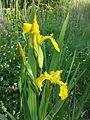 Iris pseudacorus sl3.jpg