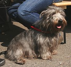 Irish glen of imaal terrier pl2.jpg