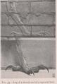 Ishtar gate sirrush comparison in Koldewey 1914.png