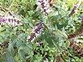 Isodontia mexicana 02.jpg