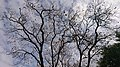 Jacaranda en primavera.jpg