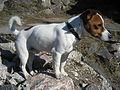 Jack Russell Terrier2.jpg